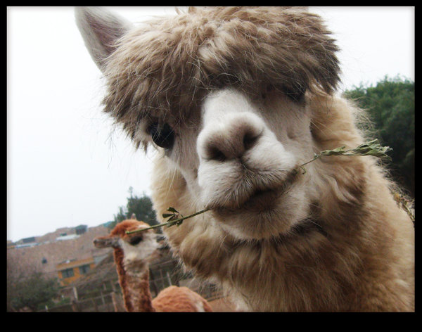 Alpaca Eating from deviantART